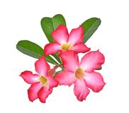 Tropical flower Pink Adenium. on isolated white background. The Tropical flower Pink Adenium. on isolated white background stock photos