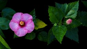 Tropical flower, pink Hibiscus rose mallow or Chinese rose wit. H green leaves on black background Royalty Free Stock Image
