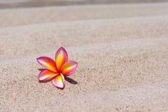 Tropical flower Plumeria alba on the sandy beach.  Royalty Free Stock Photography