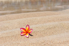 Tropical flower Plumeria alba on the sandy beach Royalty Free Stock Images