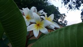 Tropical Flower Plumeria stock photos