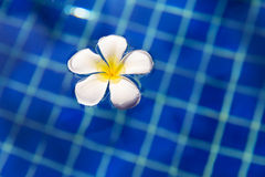 Tropical flower plumeria frangipani swimming pool Stock Photos