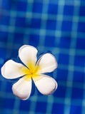 Tropical flower plumeria frangipani in swimming pool Stock Image