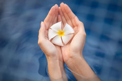 Tropical flower plumeria in woman hands Royalty Free Stock Images