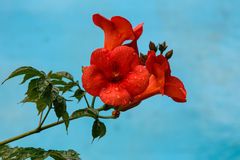 Tropical flower Royalty Free Stock Photos