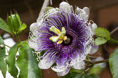 Tropical Flower. Purple hairy tropical flower from Florida Stock Photo