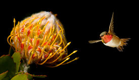 Tropical flower with Ruby-throated Hummingbird over black backgr Royalty Free Stock Photos