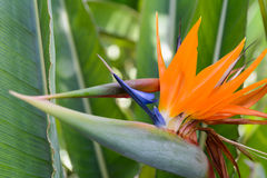 Tropical flower strelitzia Stock Photo