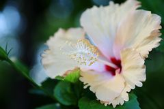 Tropical flower Royalty Free Stock Photography