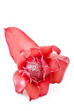 Tropical flower torch ginger (Etlingera elatior). On white background Royalty Free Stock Photography