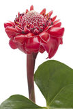 Tropical flower torch ginger, isolated Royalty Free Stock Photography