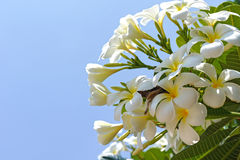 Tropical flower white Plumeria alba on blue sky background Royalty Free Stock Image