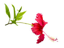 Tropical flower on white Royalty Free Stock Image