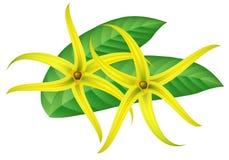 Tropical flower - ylang-ylang (Cananga). Tropical flower - ylang-ylang (Cananga Vector Illustration