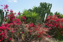 Tropical flowering garden with cactus, palms and red blossoms bush. Tropical flowering garden with cactus, palms and red blossoms bush on background  blue sky Stock Photography