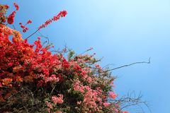 Tropical Flowering Shrubs Royalty Free Stock Photography