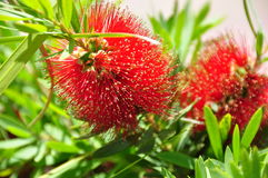 Tropical flowering tree with dark-red puff-like flowers stock photo