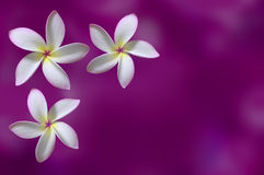 Tropical flowers Royalty Free Stock Photography