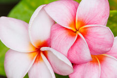 Tropical flowers Stock Photos