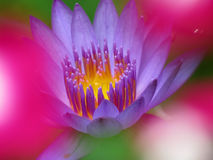 Tropical Flowers. A beautiful waterlily in between blurs of pink tropical flowers Stock Image