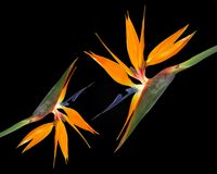Tropical flowers Bird of Paradise on black Royalty Free Stock Photos