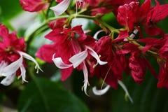 Blazilian red cloak. Tropical flowers / Brazilian red cloak stock photo