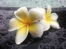 Tropical flowers frangipani be wet with rain drop on shiny black table. royalty free stock images