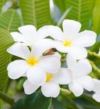 Tropical flowers frangipani Stock Image
