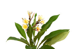 Tropical flowers frangipani isolated on white Stock Photography