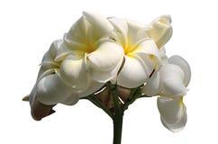 Tropical flowers frangipani isolated on white Stock Images