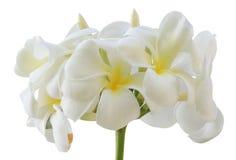 Tropical flowers frangipani isolated on white Stock Image