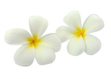 Tropical flowers frangipani (plumeria) Stock Photos