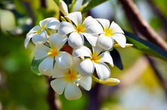 Thai plumeria Royalty Free Stock Photos