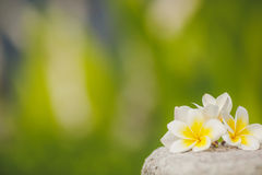 Tropical flowers frangipani, plumeria amid greenery Royalty Free Stock Photos