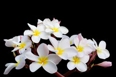 Tropical flowers frangipani (plumeria) on black backgro Royalty Free Stock Photos