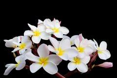 Tropical flowers frangipani (plumeria) on black backgro Royalty Free Stock Photos