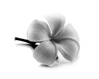 Tropical flowers frangipani (plumeria) black and white Royalty Free Stock Image