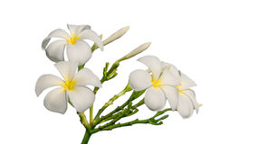 Tropical flowers frangipani Royalty Free Stock Photo