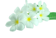 Tropical flowers frangipani plumeria isolated on white Royalty Free Stock Images