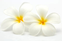 Tropical flowers frangipani (plumeria) Royalty Free Stock Image