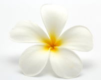 Tropical flowers frangipani (plumeria) Royalty Free Stock Images