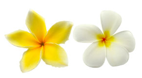 Tropical flowers frangipani (plumeria) isolated on white backgro Stock Image
