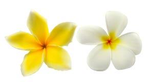 Tropical flowers frangipani (plumeria) isolated on white backgro Stock Image