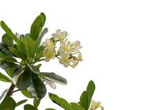 Tropical flowers frangipani plumeria isolated on white backgro Stock Image