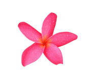 Tropical flowers frangipani (plumeria) Royalty Free Stock Photography