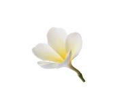 Tropical flowers frangipani (plumeria) Royalty Free Stock Photography