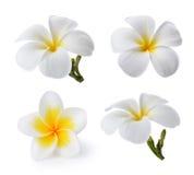 Tropical flowers frangipani (plumeria) Stock Image