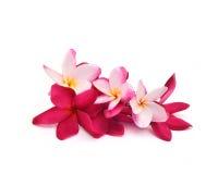 Tropical flowers frangipani (plumeria) Royalty Free Stock Images
