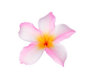 Tropical flowers frangipani (plumeria) Stock Images