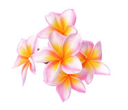 Tropical flowers frangipani (plumeria) isolated on white background. Stock Image
